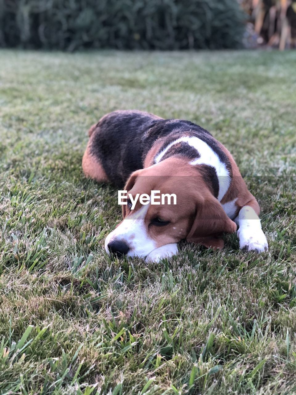 pets, domestic, mammal, domestic animals, dog, canine, animal themes, one animal, animal, grass, vertebrate, plant, relaxation, field, nature, no people, lying down, day, land, resting, animal head