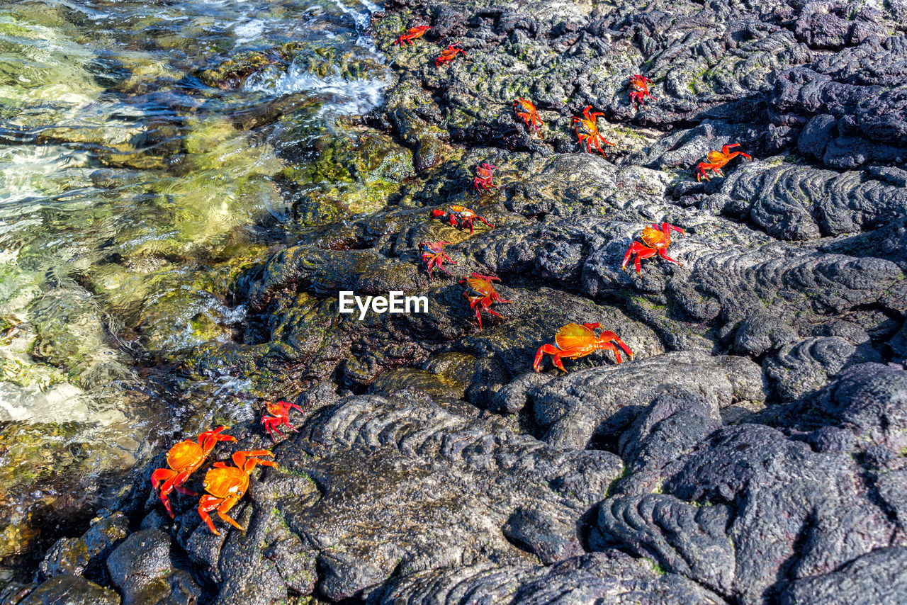 High Angle View Of Sally Lightfoot Crabs On Rocks By Lake