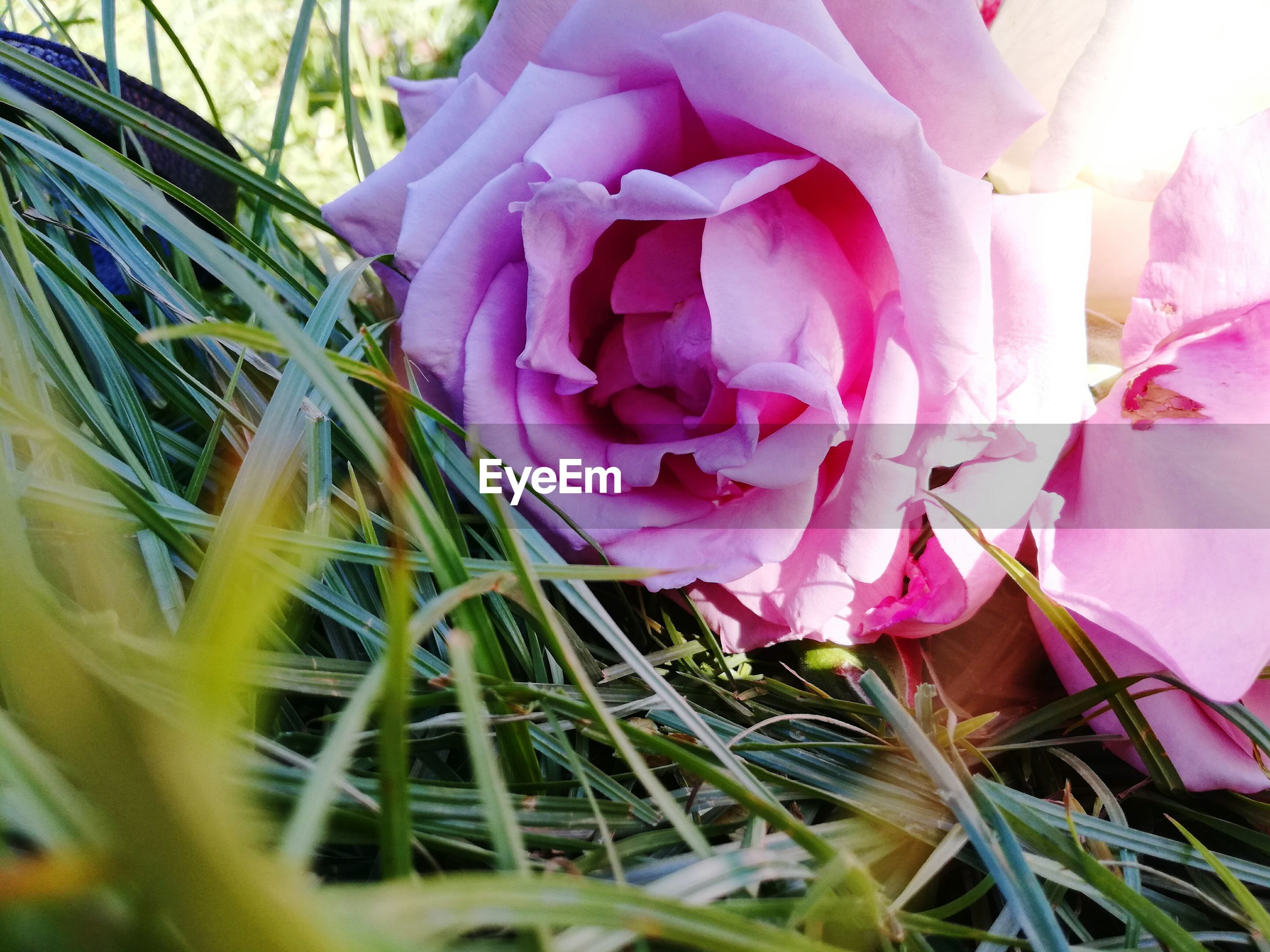 flower, nature, beauty in nature, petal, fragility, pink color, flower head, freshness, close-up, plant, day, growth, outdoors, rose - flower, no people, bouquet, grass