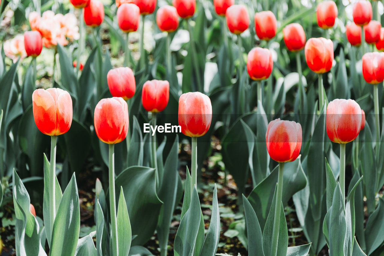 plant, growth, beauty in nature, flower, flowering plant, vulnerability, fragility, freshness, close-up, field, land, red, nature, green color, no people, tulip, day, petal, plant stem, outdoors, flower head, flowerbed, spring