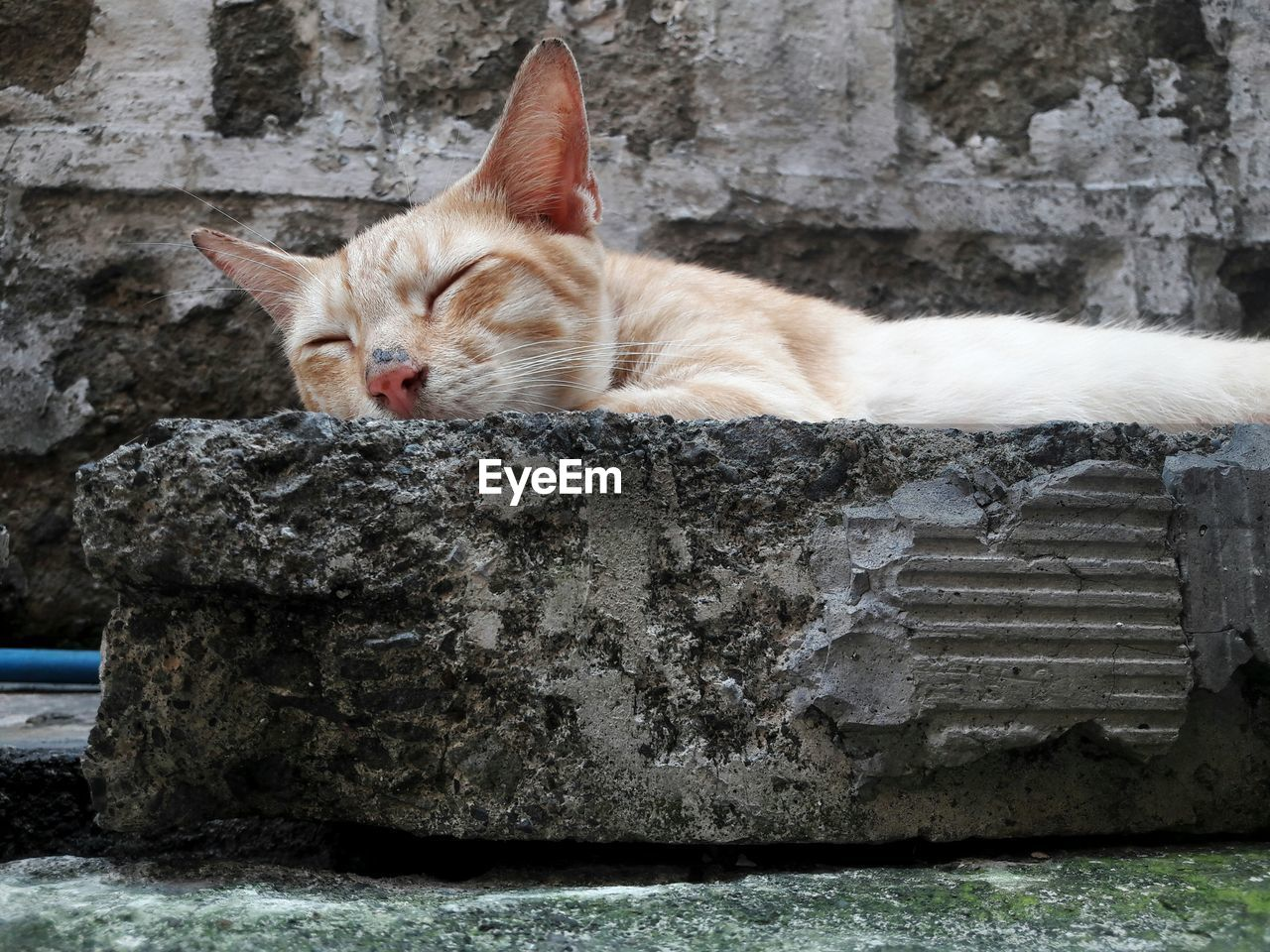cat, domestic cat, feline, domestic, animal themes, domestic animals, mammal, animal, pets, one animal, vertebrate, relaxation, no people, portrait, day, wall, whisker, looking at camera, solid, resting, ginger cat