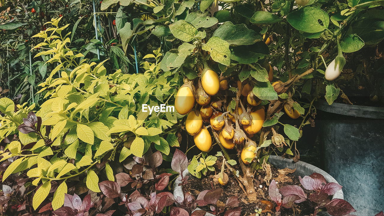 leaf, plant part, food and drink, food, fruit, healthy eating, growth, plant, nature, wellbeing, freshness, day, no people, yellow, green color, tree, outdoors, beauty in nature, citrus fruit, lemon, leaves