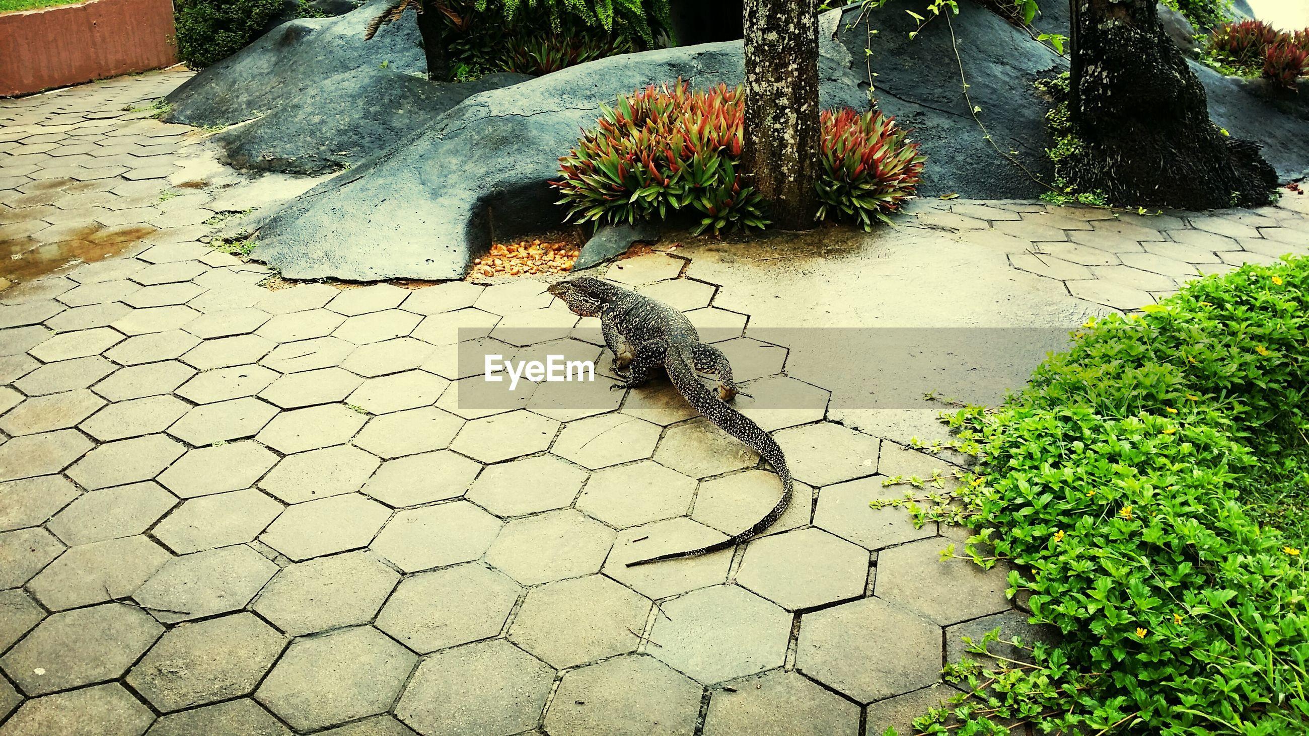 Iguana on pavement