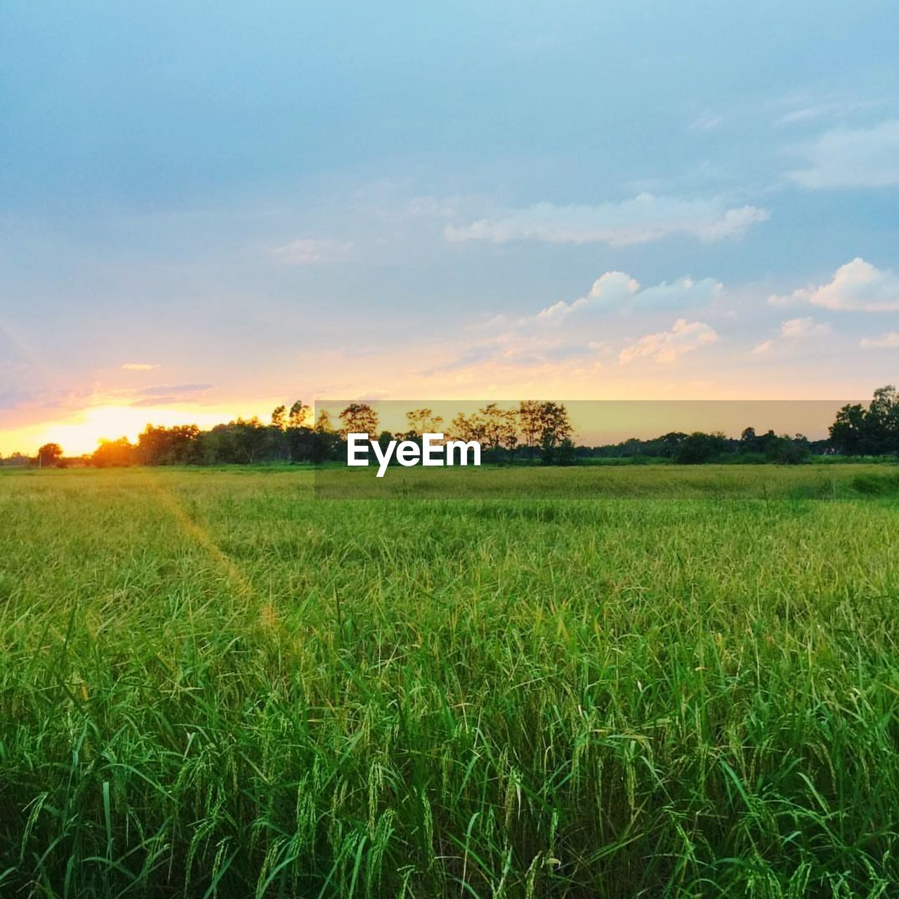 field, agriculture, nature, landscape, tranquility, beauty in nature, tranquil scene, sunset, farm, scenics, sky, growth, rural scene, crop, no people, grass, outdoors, green color, cloud - sky, cereal plant, tree, day, rice paddy, wheat