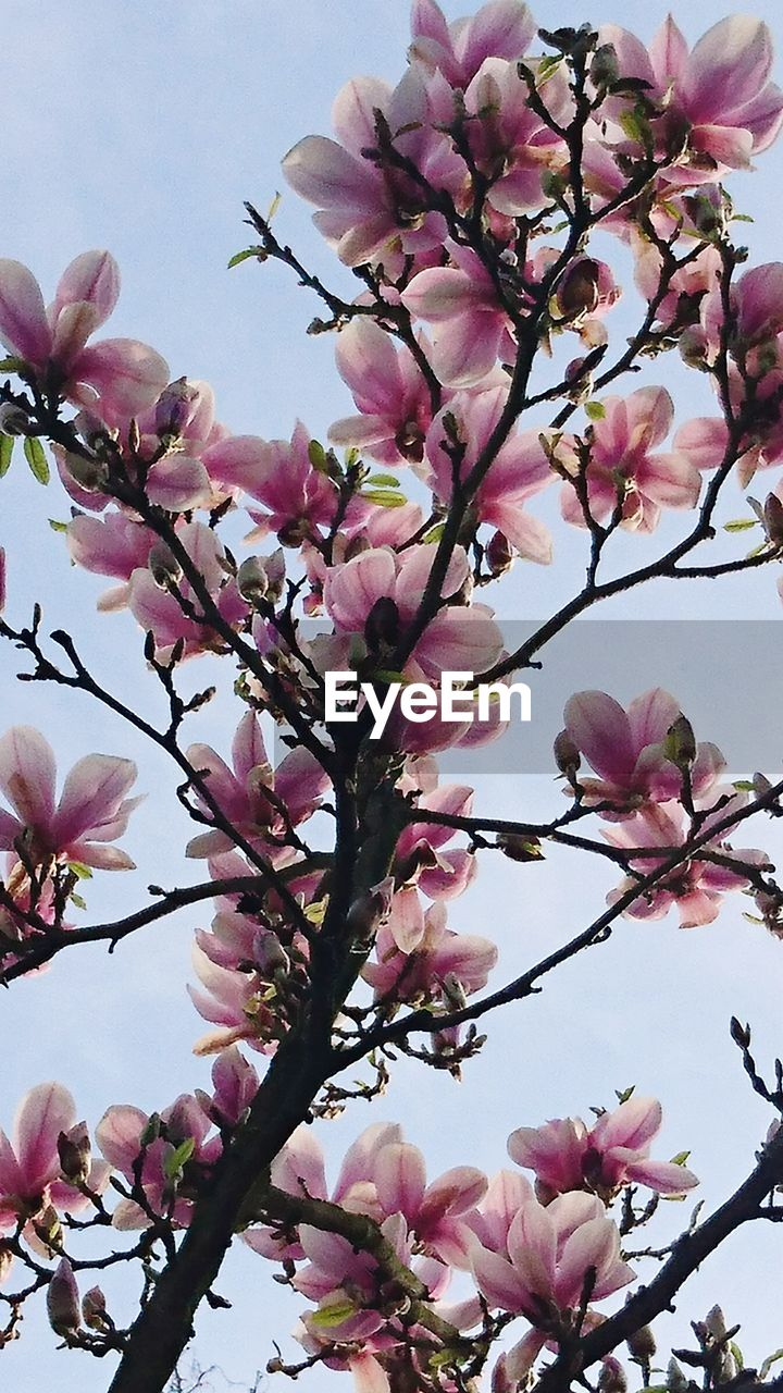 flower, pink color, fragility, growth, blossom, freshness, tree, beauty in nature, petal, branch, magnolia, botany, nature, springtime, no people, day, close-up, low angle view, outdoors, sky, flower head