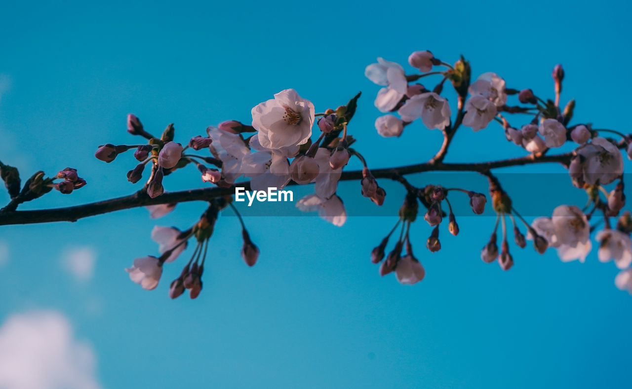 flowering plant, flower, plant, beauty in nature, vulnerability, growth, fragility, tree, freshness, blue, nature, close-up, sky, branch, low angle view, day, petal, no people, blossom, springtime, flower head, outdoors, cherry blossom, cherry tree, blue background