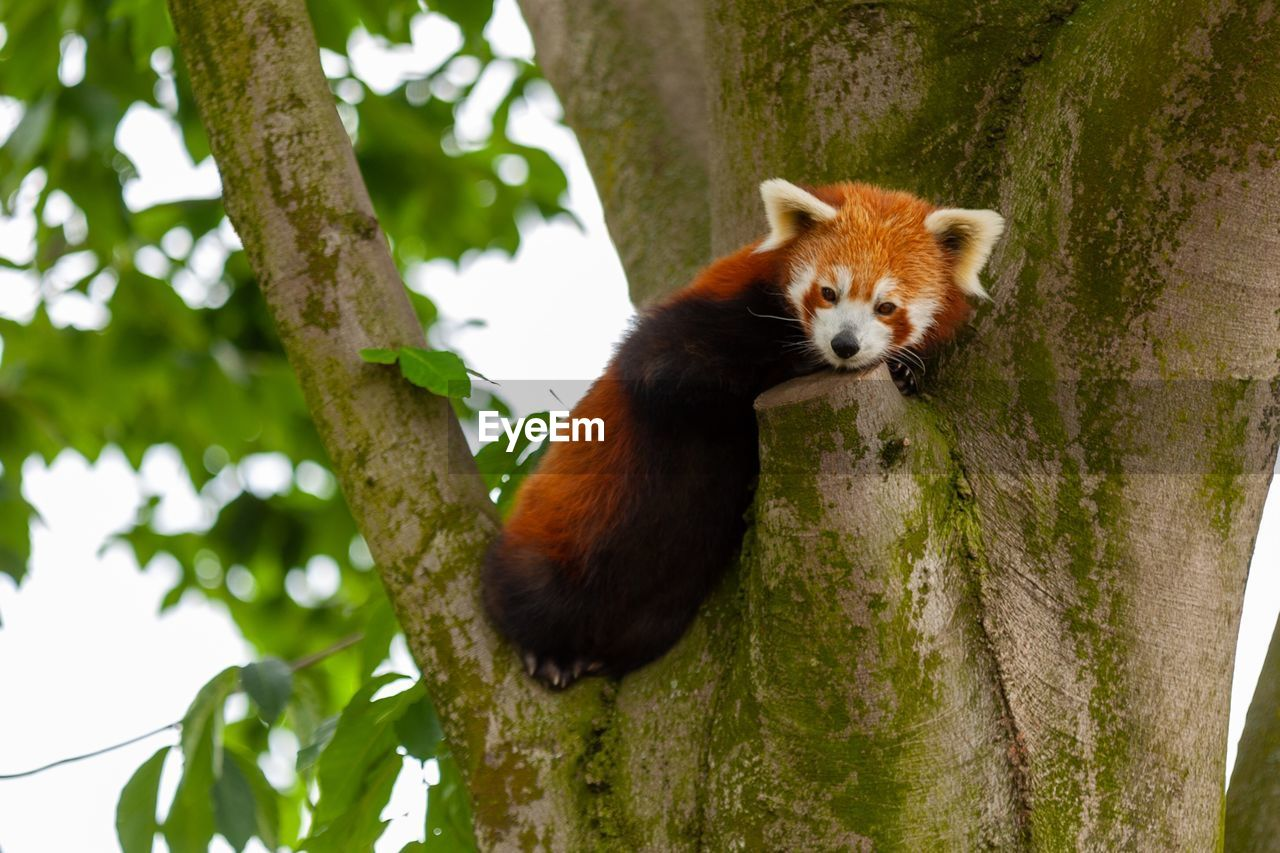 one animal, animal themes, animal, tree, animal wildlife, animals in the wild, mammal, plant, red panda, vertebrate, branch, no people, focus on foreground, nature, low angle view, panda - animal, day, tree trunk, trunk, outdoors, whisker