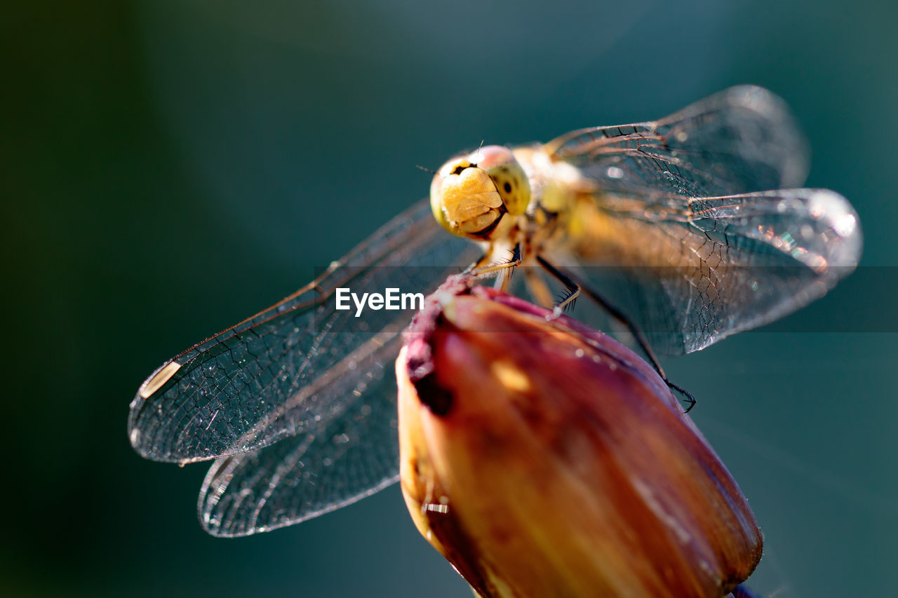 Close-Up Of Dragonfly On Bud