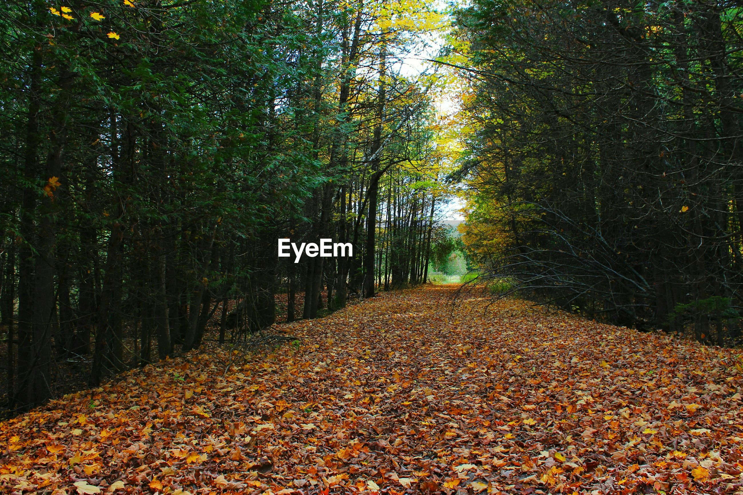 Trees amidst leaves on pathway in forest
