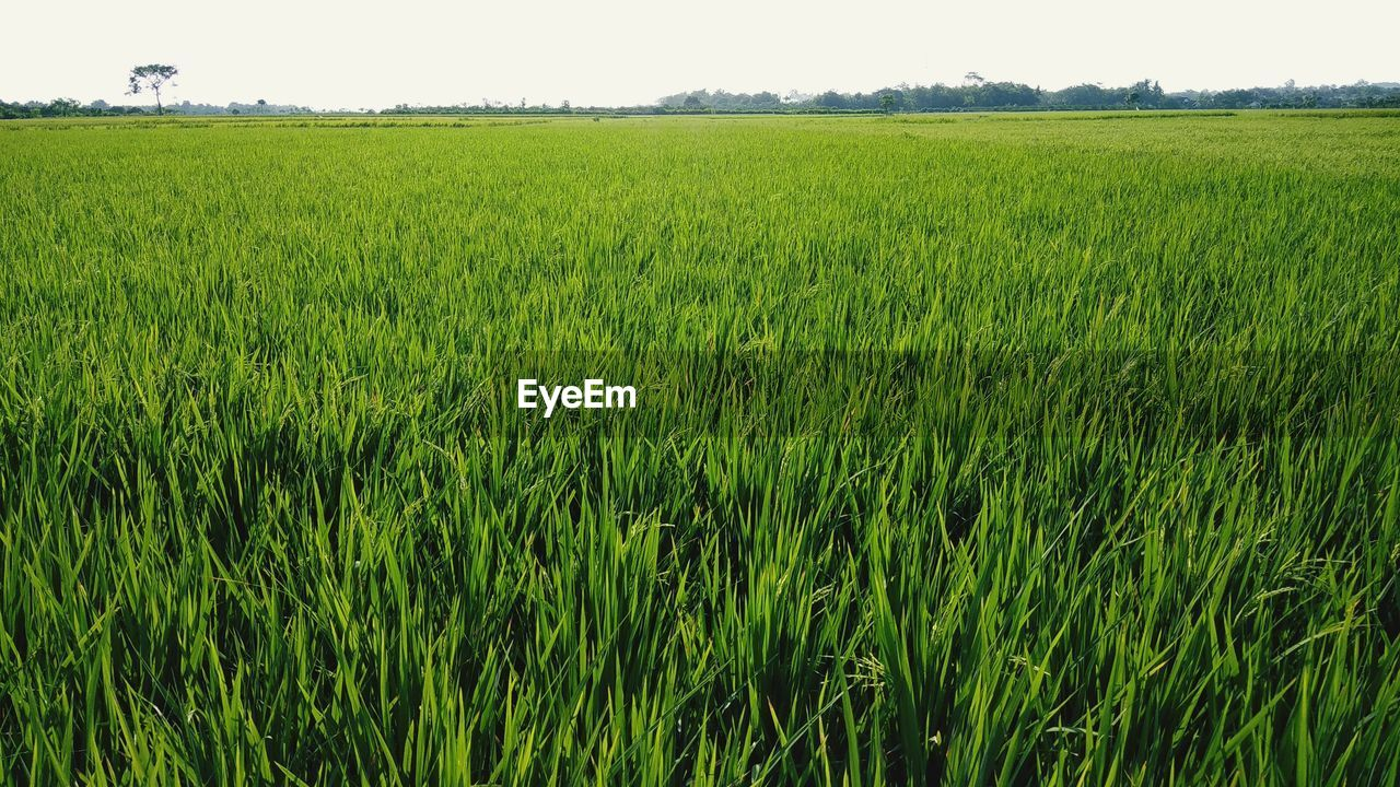 growth, landscape, green color, plant, agriculture, field, rural scene, land, environment, crop, cereal plant, tranquility, farm, scenics - nature, beauty in nature, nature, day, tranquil scene, no people, sky, outdoors, plantation