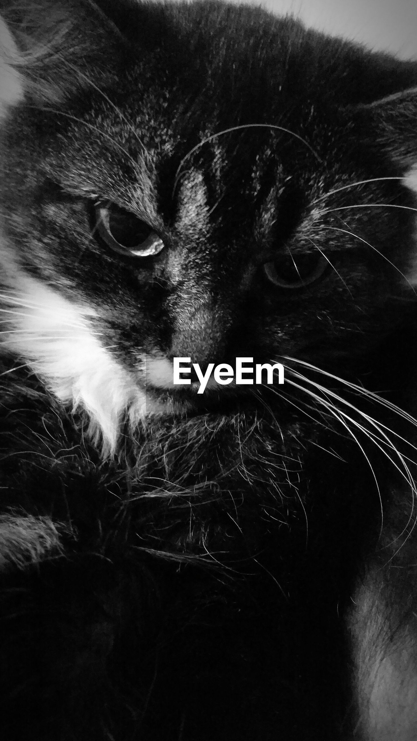 domestic cat, cat, pets, domestic animals, one animal, animal themes, feline, mammal, whisker, indoors, close-up, animal head, portrait, looking at camera, animal eye, staring, animal body part, relaxation, no people, alertness