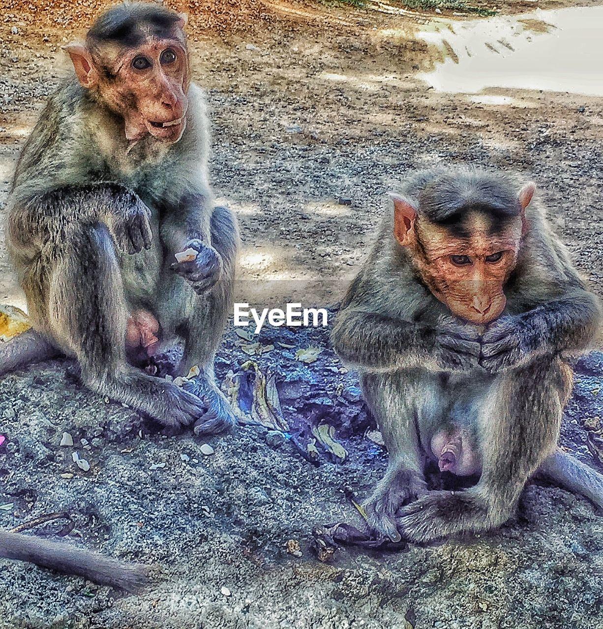 Male monkeys sitting on dirt