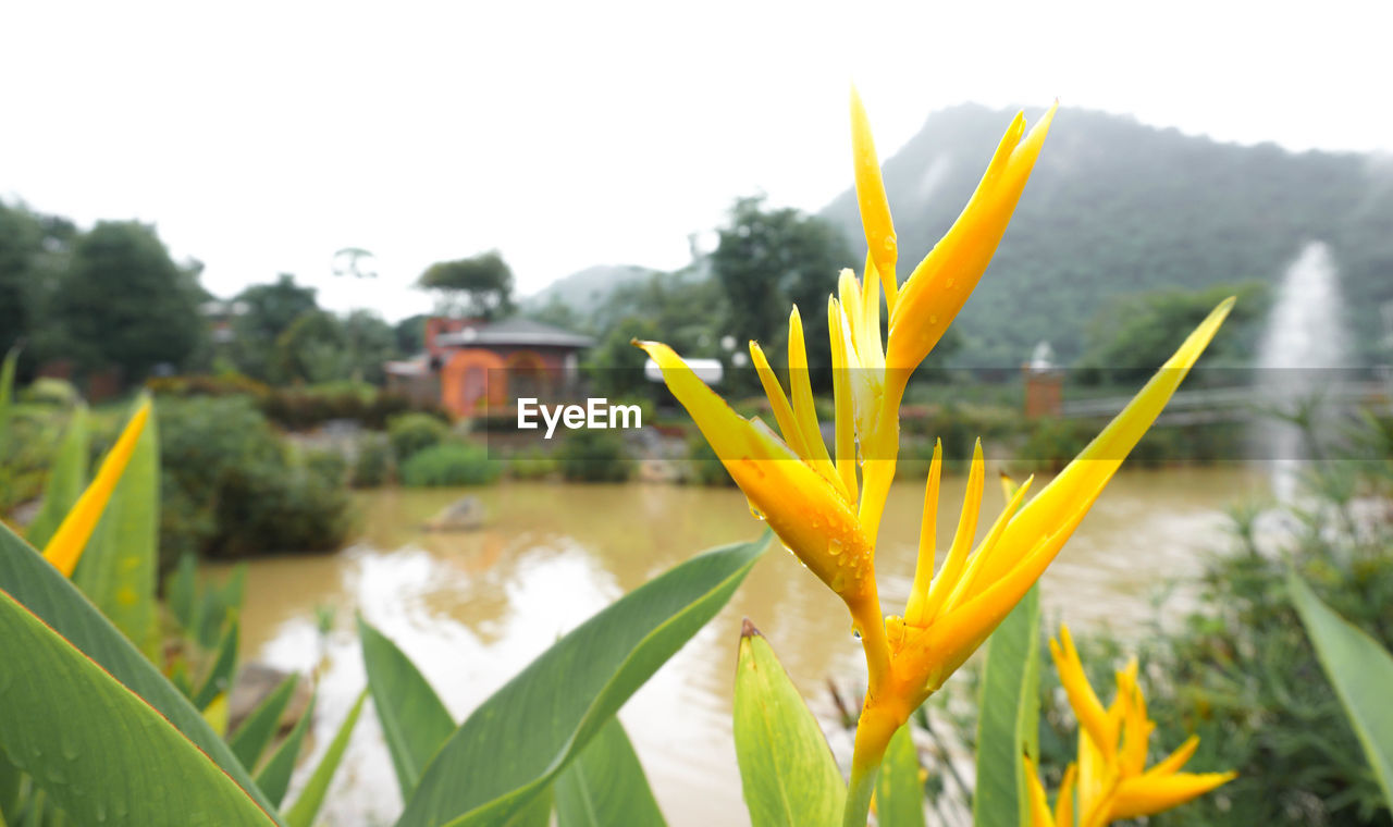 growth, flower, plant, nature, beauty in nature, focus on foreground, freshness, fragility, petal, yellow, field, day, outdoors, no people, blooming, flower head, leaf, tranquility, close-up, bird of paradise - plant, sky