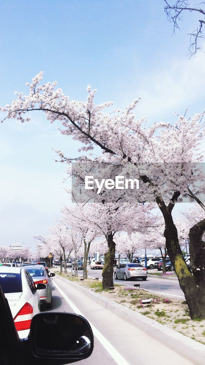 tree, road, blossom, transportation, day, flower, springtime, growth, land vehicle, no people, nature, sky, branch, beauty in nature, outdoors, freshness, fragility, city, close-up