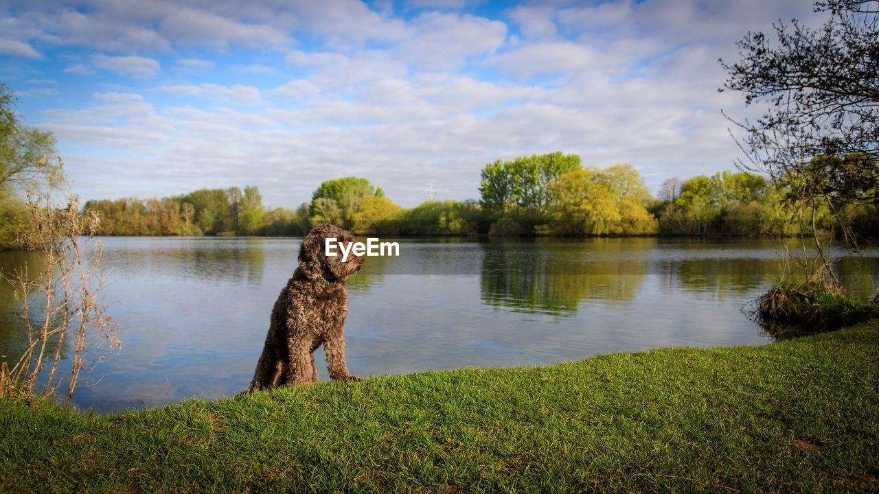 plant, lake, tree, water, animal themes, animal, sky, one animal, grass, nature, vertebrate, green color, cloud - sky, domestic, canine, day, mammal, dog, beauty in nature, no people, outdoors