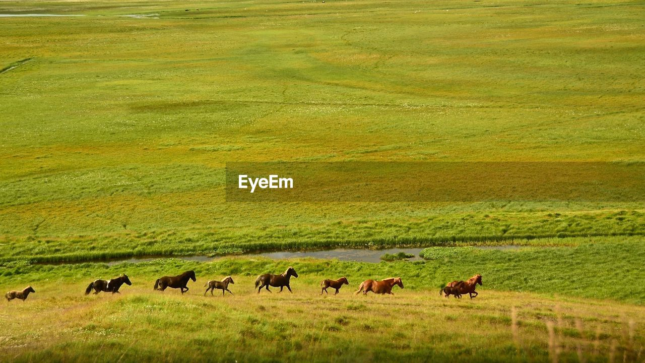 High angle view of horses walking on grassy field