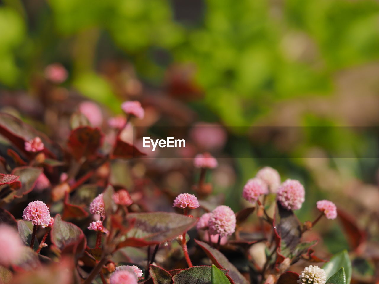 beauty in nature, plant, growth, flower, flowering plant, selective focus, close-up, fragility, vulnerability, freshness, pink color, day, nature, no people, plant part, petal, leaf, outdoors, focus on foreground, botany, flower head