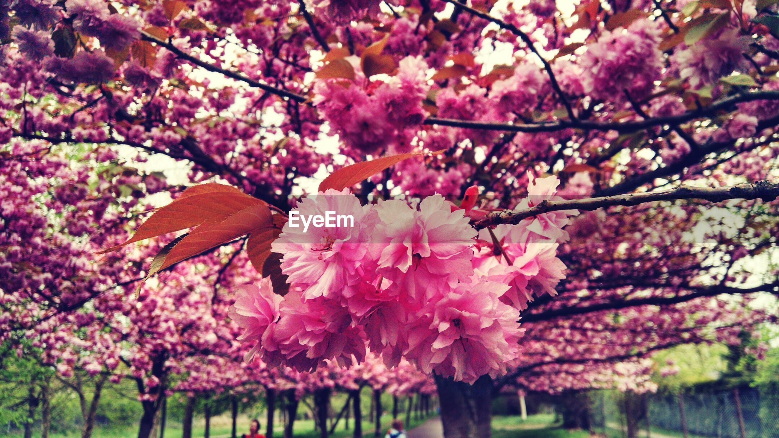 Branches with pink blossom