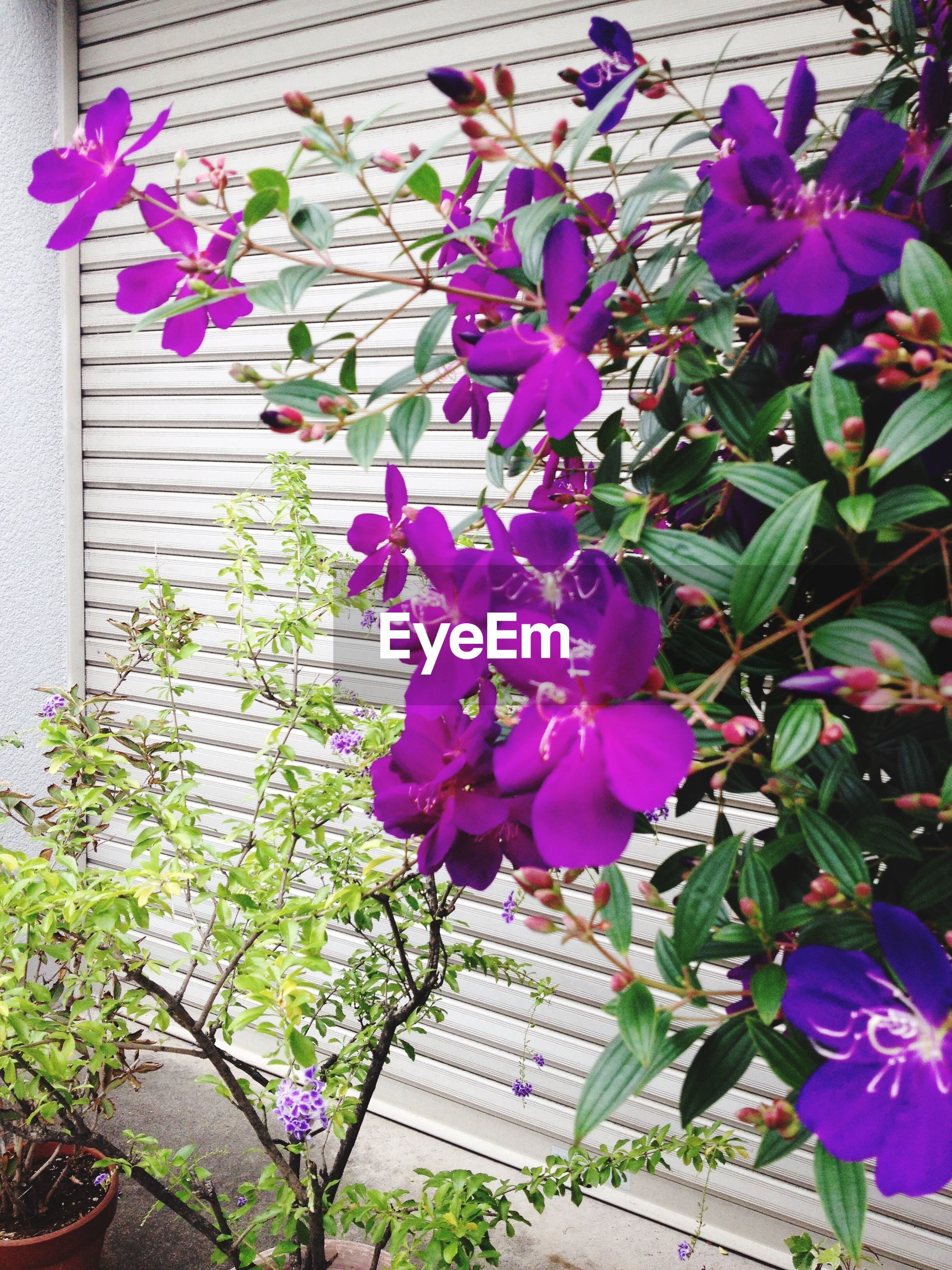 flower, freshness, fragility, purple, growth, petal, plant, beauty in nature, pink color, blooming, leaf, nature, flower head, in bloom, blossom, outdoors, high angle view, day, no people, springtime