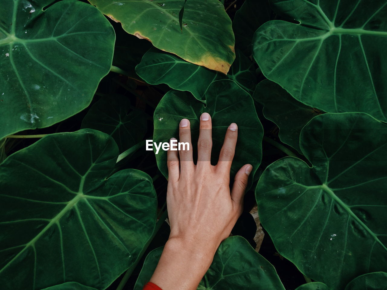 leaf, plant part, green color, one person, real people, hand, human body part, human hand, body part, high angle view, close-up, unrecognizable person, lifestyles, nature, plant, personal perspective, touching, growth, day, finger, leaves, human limb