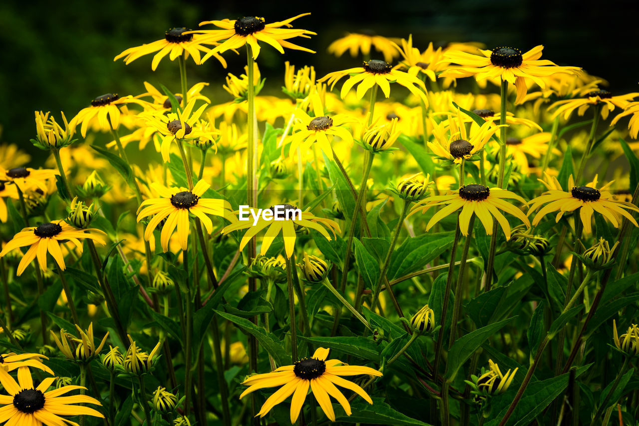 flower, yellow, growth, fragility, petal, nature, black-eyed susan, beauty in nature, freshness, blooming, flower head, plant, field, outdoors, no people, day