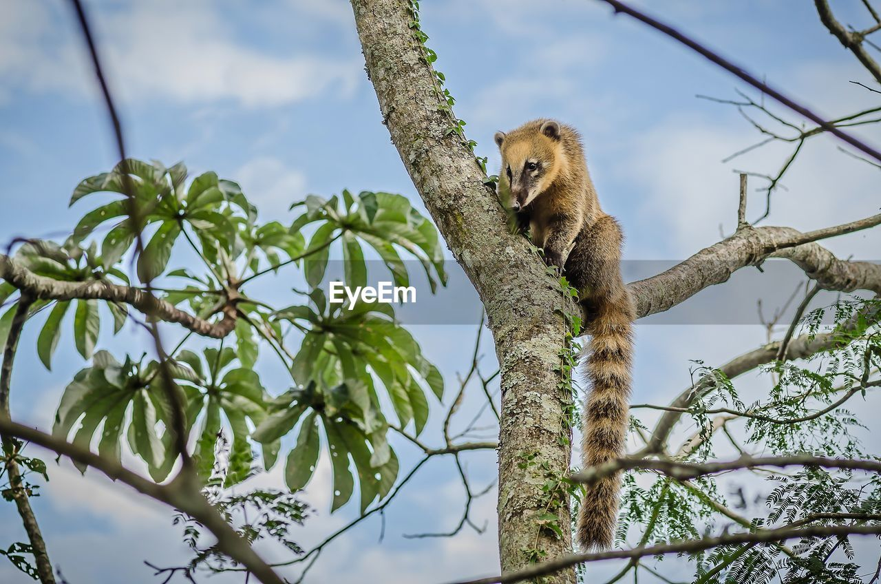 tree, low angle view, one animal, animals in the wild, animal wildlife, branch, animal themes, mammal, nature, no people, day, sitting, outdoors, koala, sky