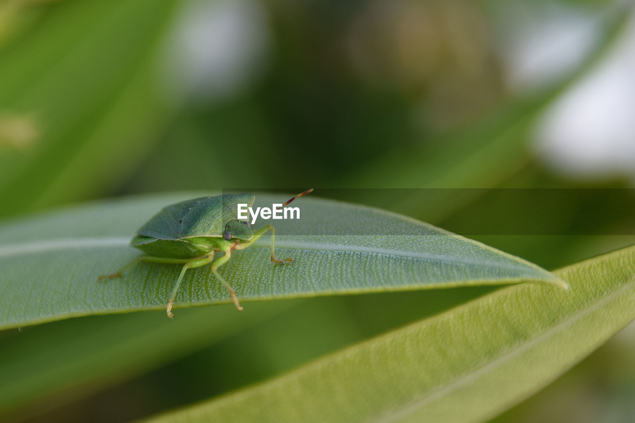 leaf, plant part, invertebrate, insect, green color, animals in the wild, animal themes, animal, animal wildlife, one animal, close-up, selective focus, plant, day, no people, nature, growth, zoology, outdoors, focus on foreground