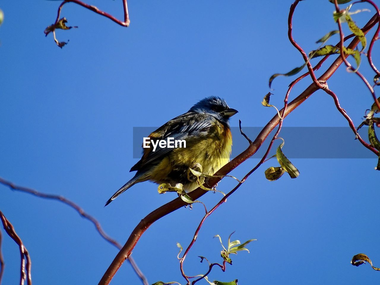 bird, animal wildlife, animals in the wild, vertebrate, animal themes, animal, low angle view, sky, tree, plant, one animal, perching, branch, clear sky, no people, nature, day, blue, outdoors, beauty in nature
