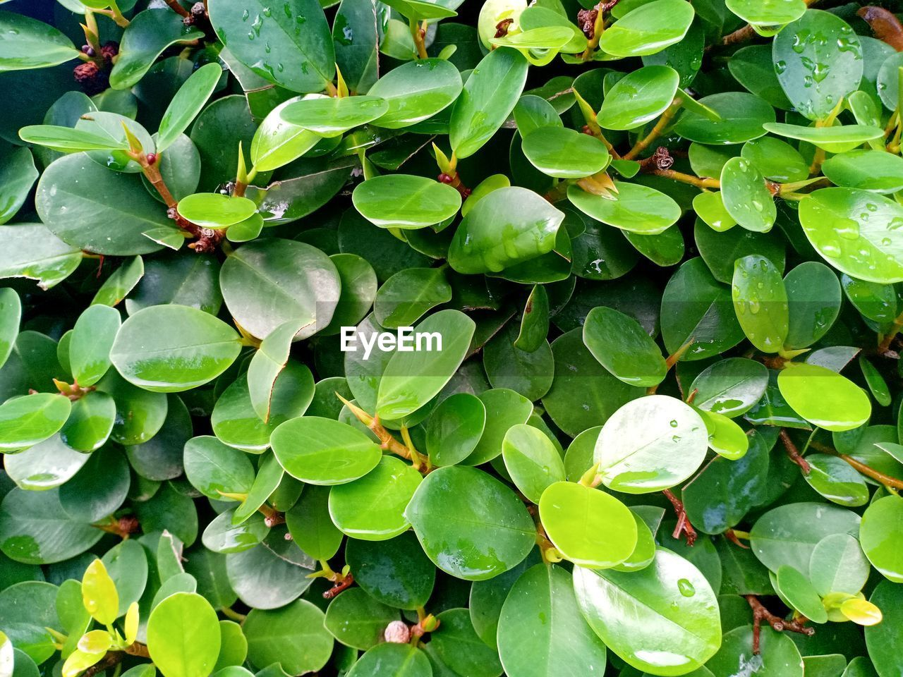green color, growth, plant part, leaf, full frame, beauty in nature, plant, backgrounds, day, no people, nature, close-up, high angle view, water, outdoors, freshness, tranquility, flower, directly above, leaves, clover