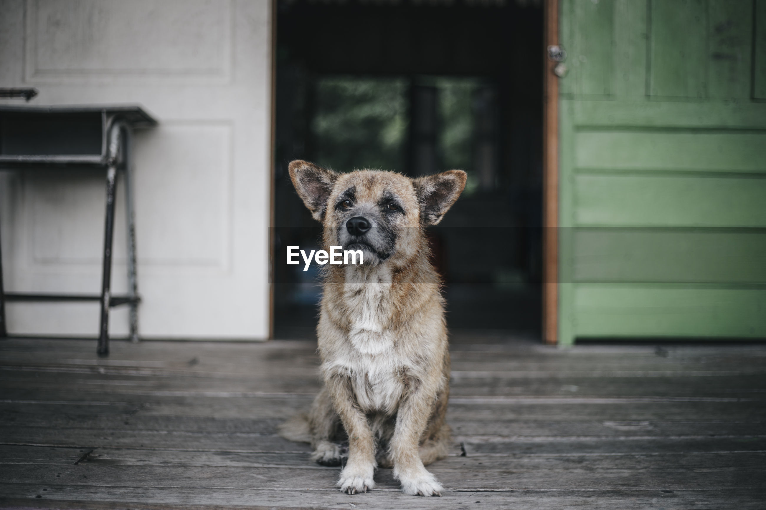 Portrait of dog standing against door
