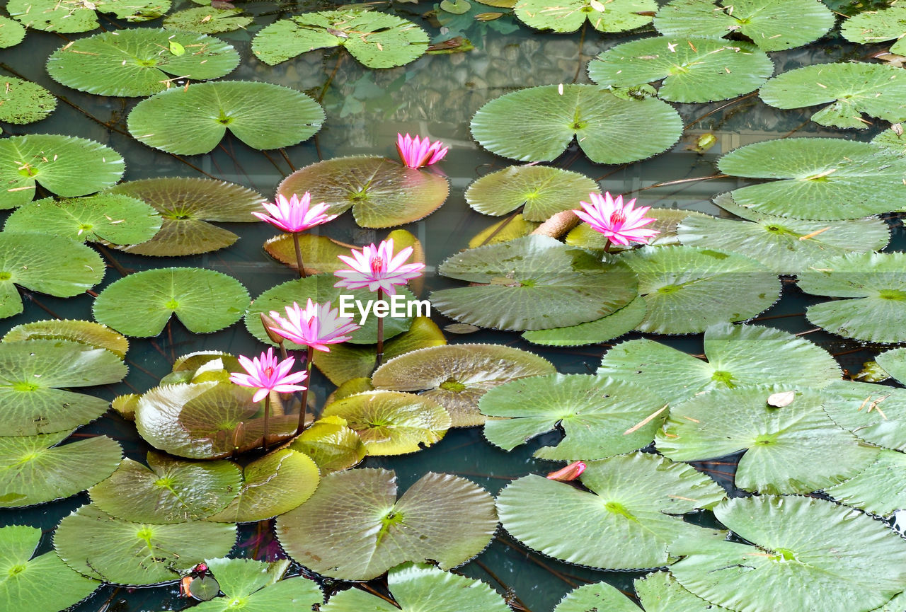 flower, flowering plant, plant, leaf, plant part, growth, beauty in nature, vulnerability, fragility, water lily, petal, freshness, pink color, inflorescence, nature, flower head, green color, high angle view, close-up, pond, no people, floating on water, outdoors, lotus water lily, leaves