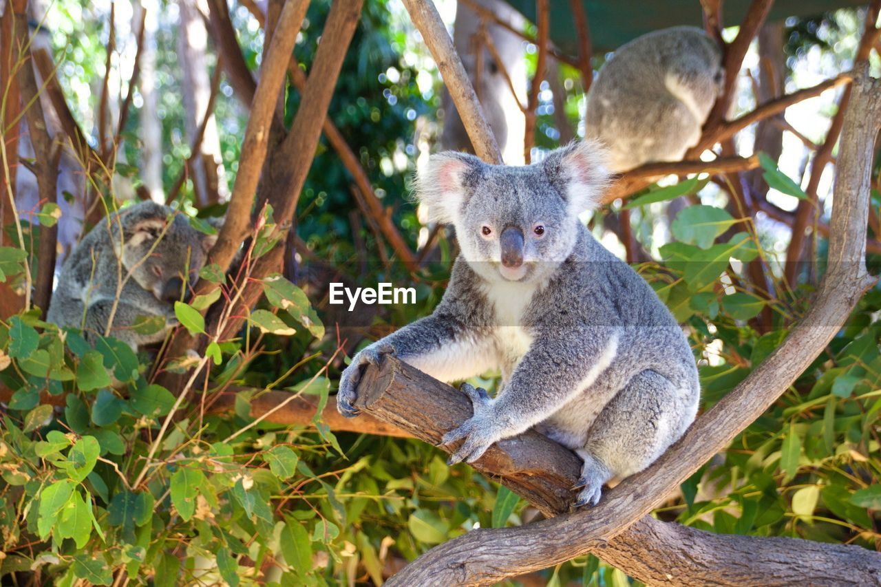animal wildlife, animal themes, animal, animals in the wild, tree, plant, one animal, branch, mammal, vertebrate, nature, koala, day, portrait, no people, sitting, focus on foreground, looking at camera, land, leaf, outdoors, herbivorous