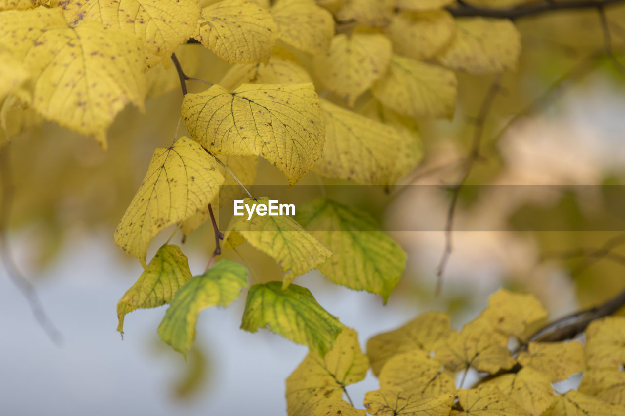 yellow, plant part, leaf, plant, close-up, growth, beauty in nature, autumn, no people, nature, day, selective focus, change, leaves, focus on foreground, vulnerability, fragility, tree, tranquility, outdoors