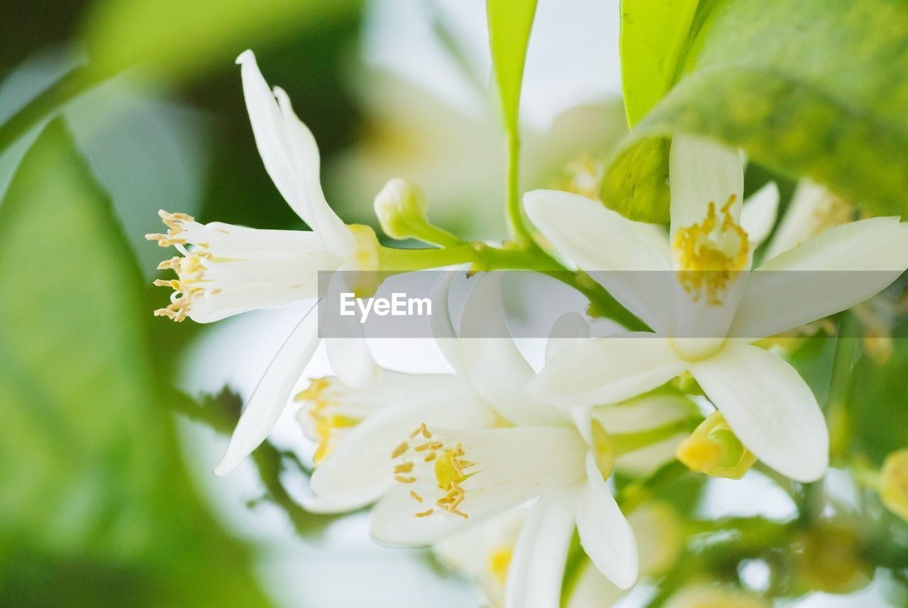 flowering plant, flower, fragility, vulnerability, plant, beauty in nature, freshness, petal, growth, close-up, white color, flower head, inflorescence, nature, day, pollen, selective focus, no people, focus on foreground, plant part, springtime