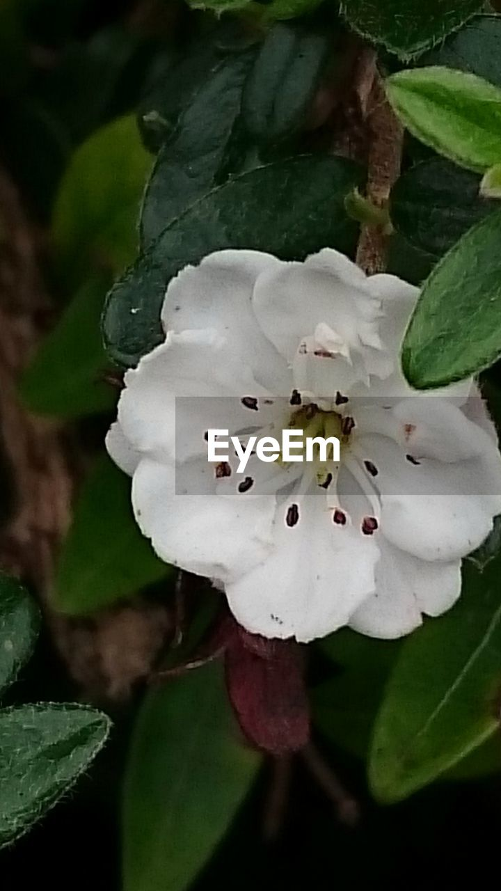 plant, beauty in nature, flowering plant, flower, leaf, growth, plant part, vulnerability, fragility, close-up, flower head, inflorescence, freshness, petal, nature, pollen, white color, day, no people, focus on foreground, springtime, outdoors