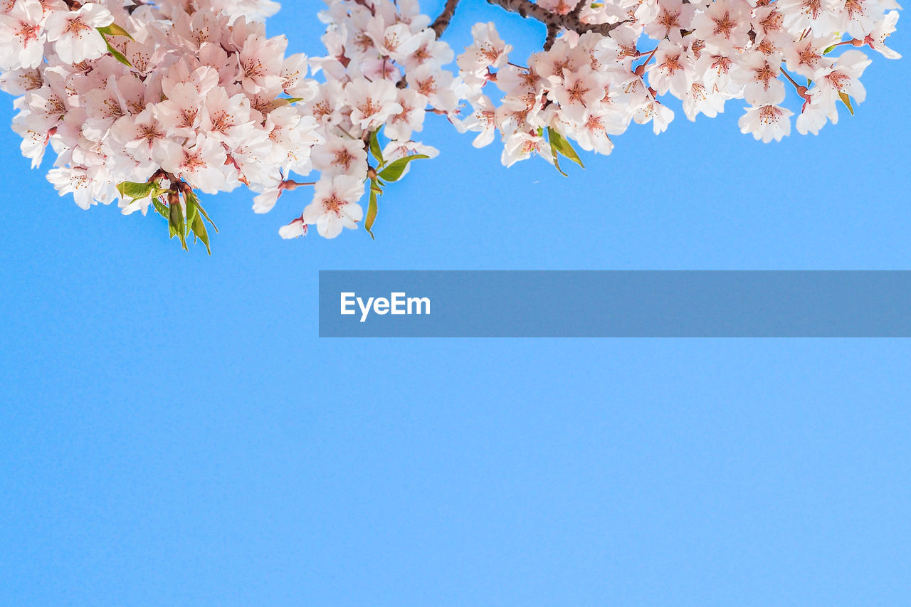flower, flowering plant, beauty in nature, plant, freshness, fragility, blue, sky, nature, copy space, clear sky, vulnerability, low angle view, blossom, growth, springtime, branch, tree, no people, day, pink color, cherry blossom, cherry tree, flower head, outdoors, bunch of flowers, blue background, spring