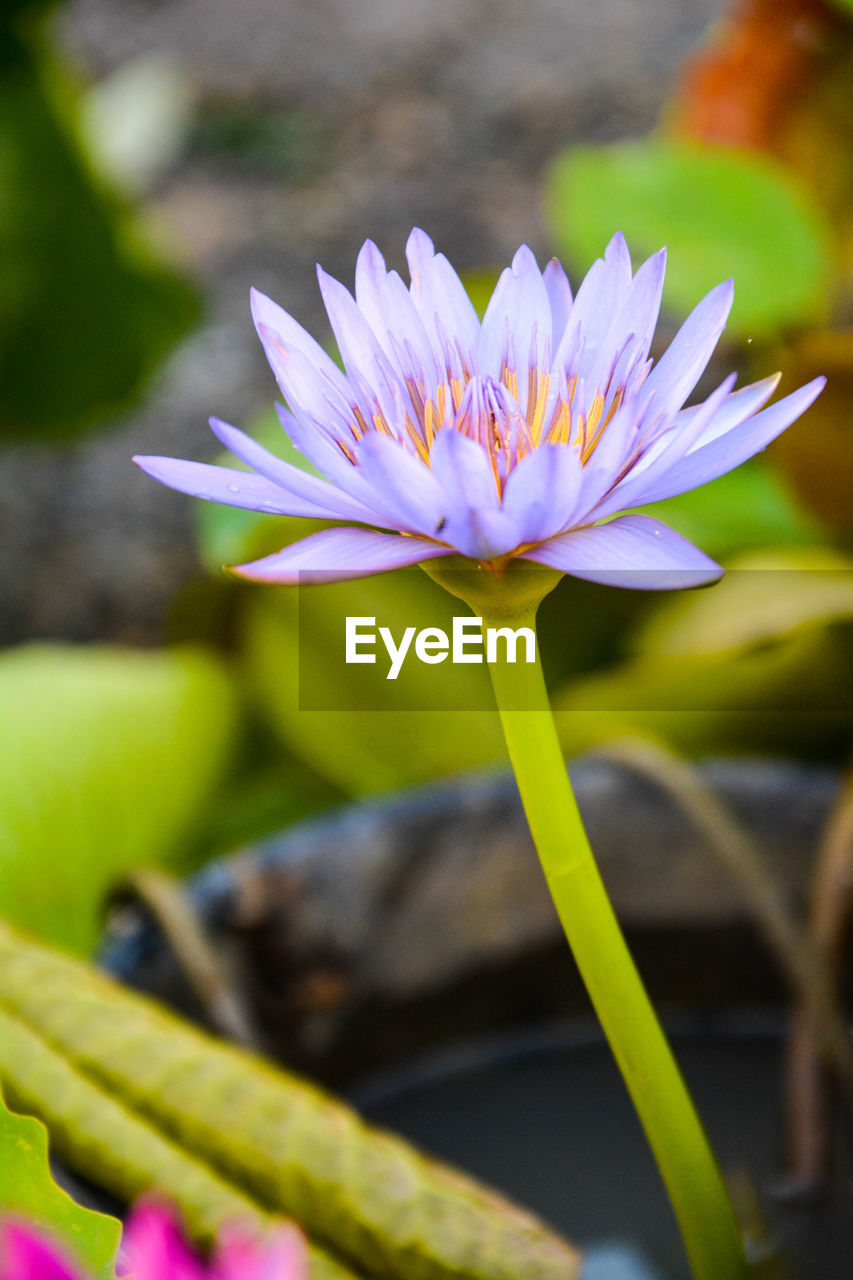 flower, nature, beauty in nature, petal, growth, freshness, fragility, flower head, plant, close-up, selective focus, outdoors, no people, day, focus on foreground, lotus water lily, water lily, leaf, blooming, water, crocus