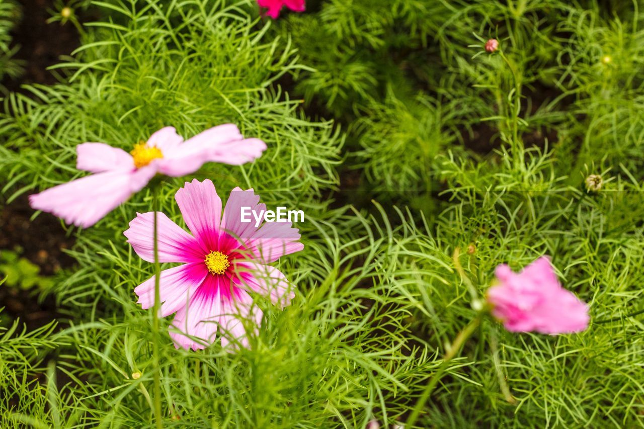flower, flowering plant, plant, freshness, growth, fragility, beauty in nature, vulnerability, petal, inflorescence, flower head, pink color, land, green color, nature, field, grass, close-up, day, no people, outdoors