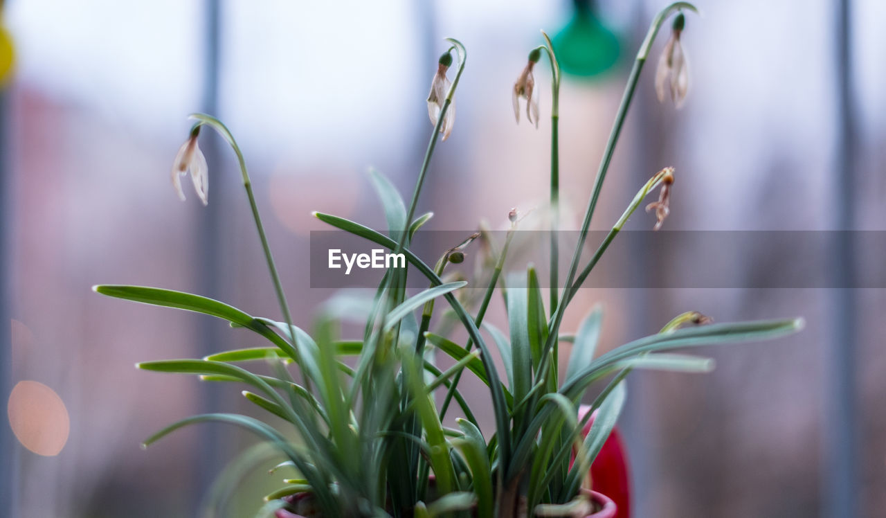 growth, plant, focus on foreground, nature, green color, close-up, no people, beauty in nature, freshness, day, snowdrop, flower, fragility, outdoors, flower head