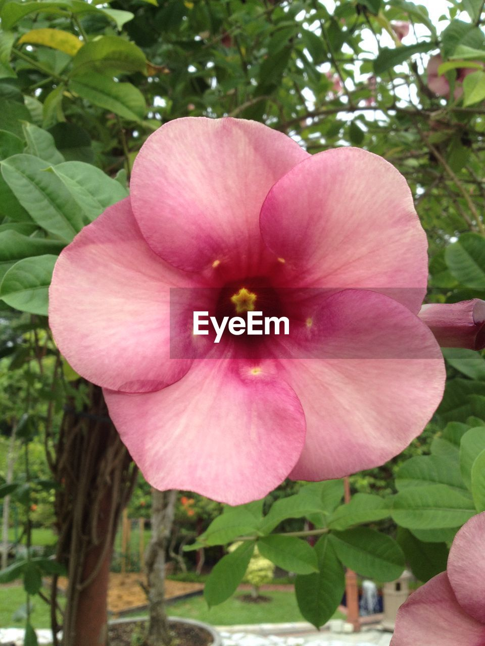 flower, petal, fragility, beauty in nature, nature, growth, freshness, flower head, plant, blooming, outdoors, day, pink color, no people, close-up, hibiscus, petunia