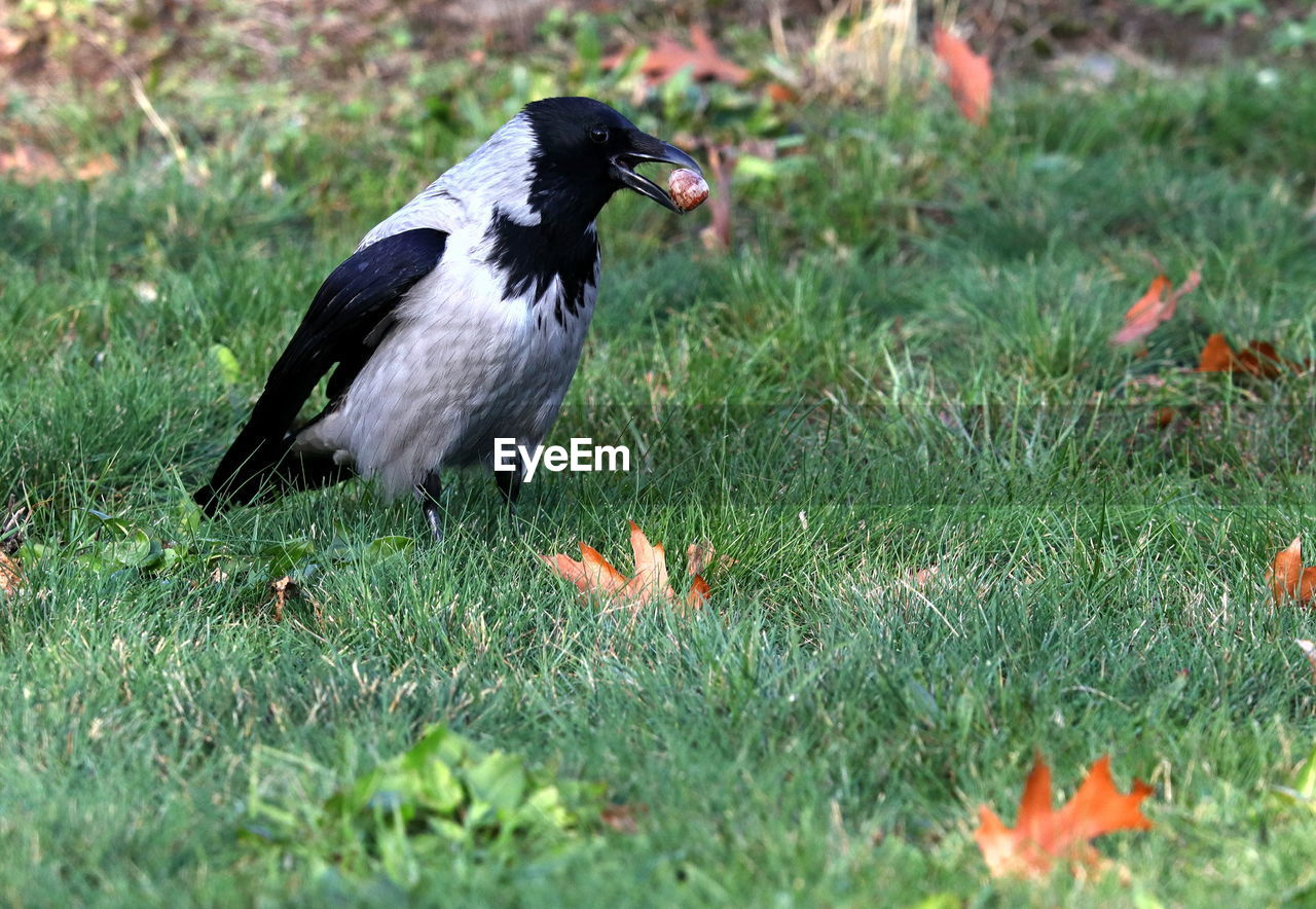 animal themes, one animal, animal, bird, animal wildlife, vertebrate, grass, animals in the wild, plant, nature, land, field, day, no people, side view, selective focus, outdoors, full length, black color, green color