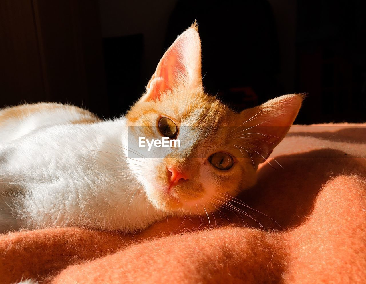 pets, domestic, domestic animals, mammal, domestic cat, cat, animal themes, animal, feline, one animal, vertebrate, close-up, no people, whisker, portrait, indoors, looking at camera, relaxation, lying down, bed, animal head, ginger cat, animal eye