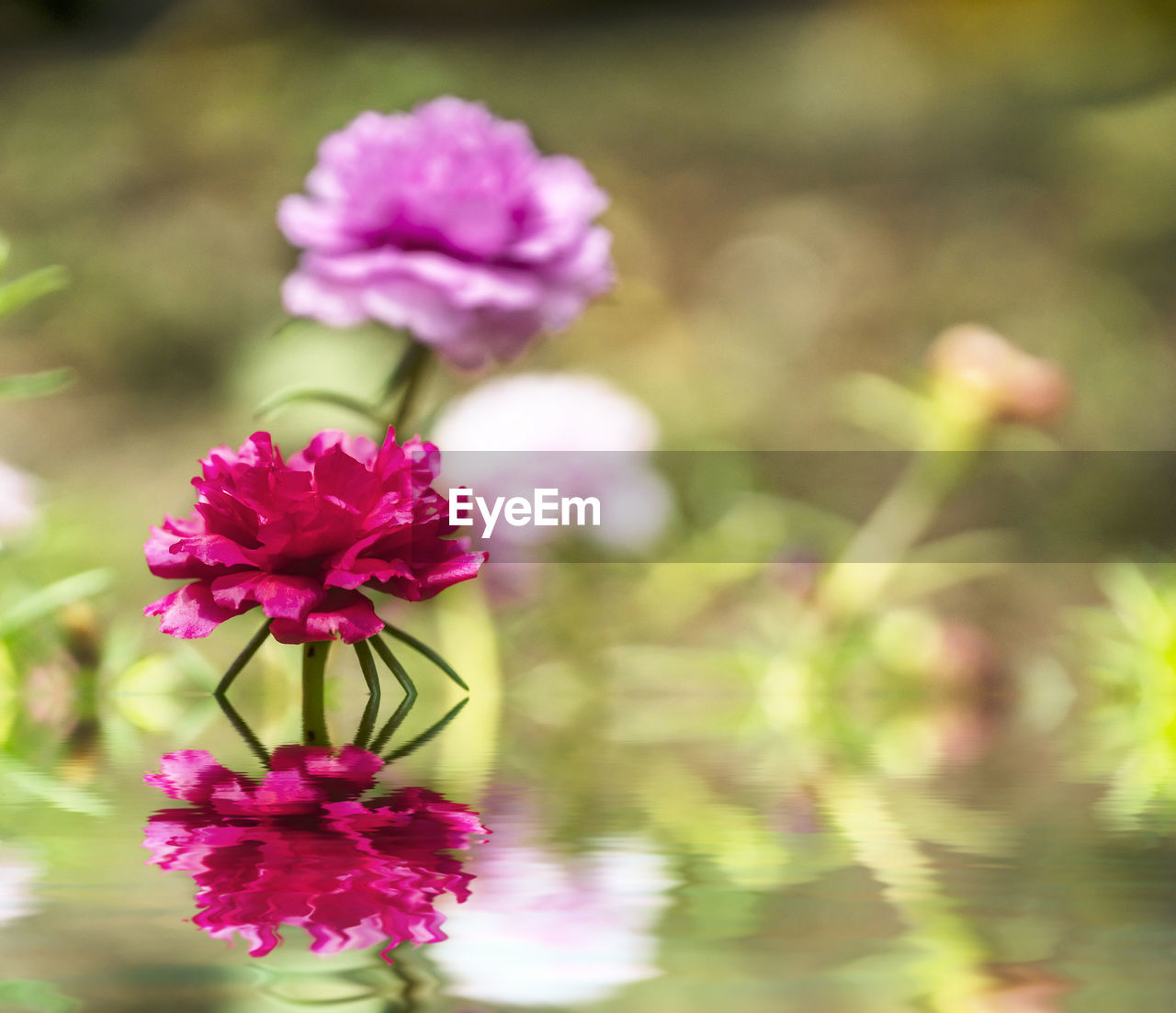 flower, fragility, petal, beauty in nature, nature, freshness, flower head, growth, plant, pink color, no people, focus on foreground, day, blooming, outdoors, close-up