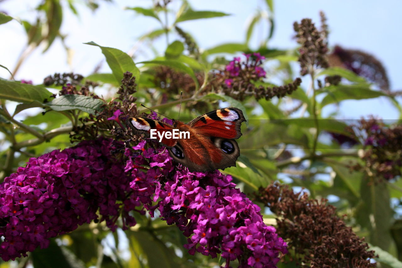 flower, flowering plant, animal themes, plant, animal wildlife, animal, animals in the wild, one animal, beauty in nature, insect, invertebrate, vulnerability, fragility, freshness, growth, butterfly - insect, petal, close-up, flower head, nature, animal wing, pollination, pink color, no people, purple, outdoors, butterfly