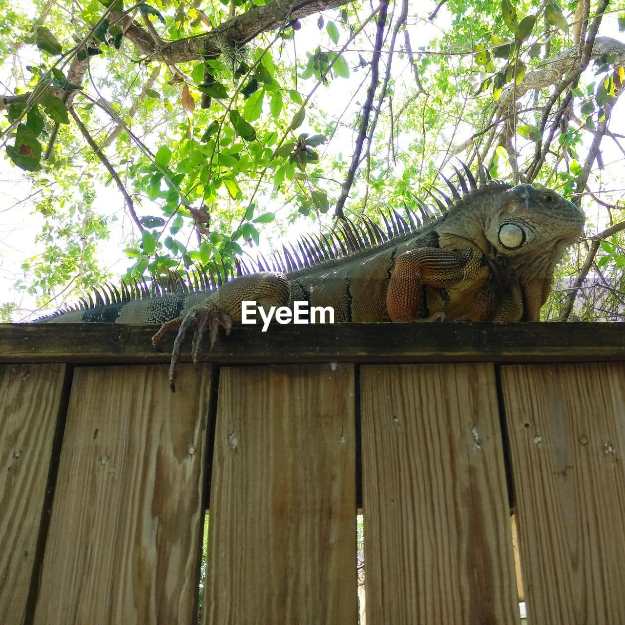 animal themes, animal, animals in the wild, vertebrate, wood - material, animal wildlife, one animal, low angle view, tree, plant, reptile, no people, day, nature, lizard, outdoors, iguana, branch, animal body part, zoo, animal head