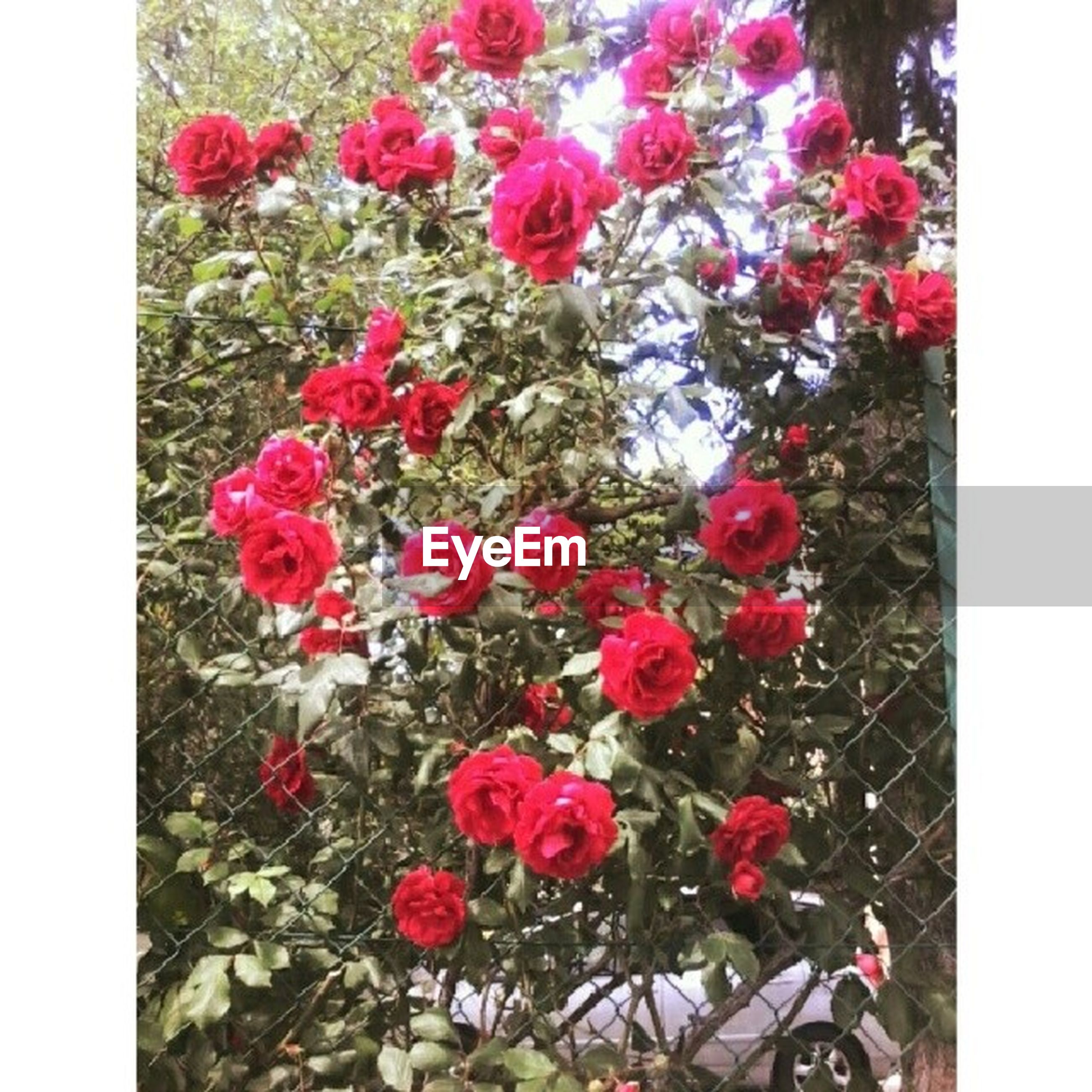 transfer print, flower, auto post production filter, petal, fragility, freshness, pink color, growth, beauty in nature, plant, high angle view, flower head, red, nature, blooming, leaf, close-up, in bloom, day, no people