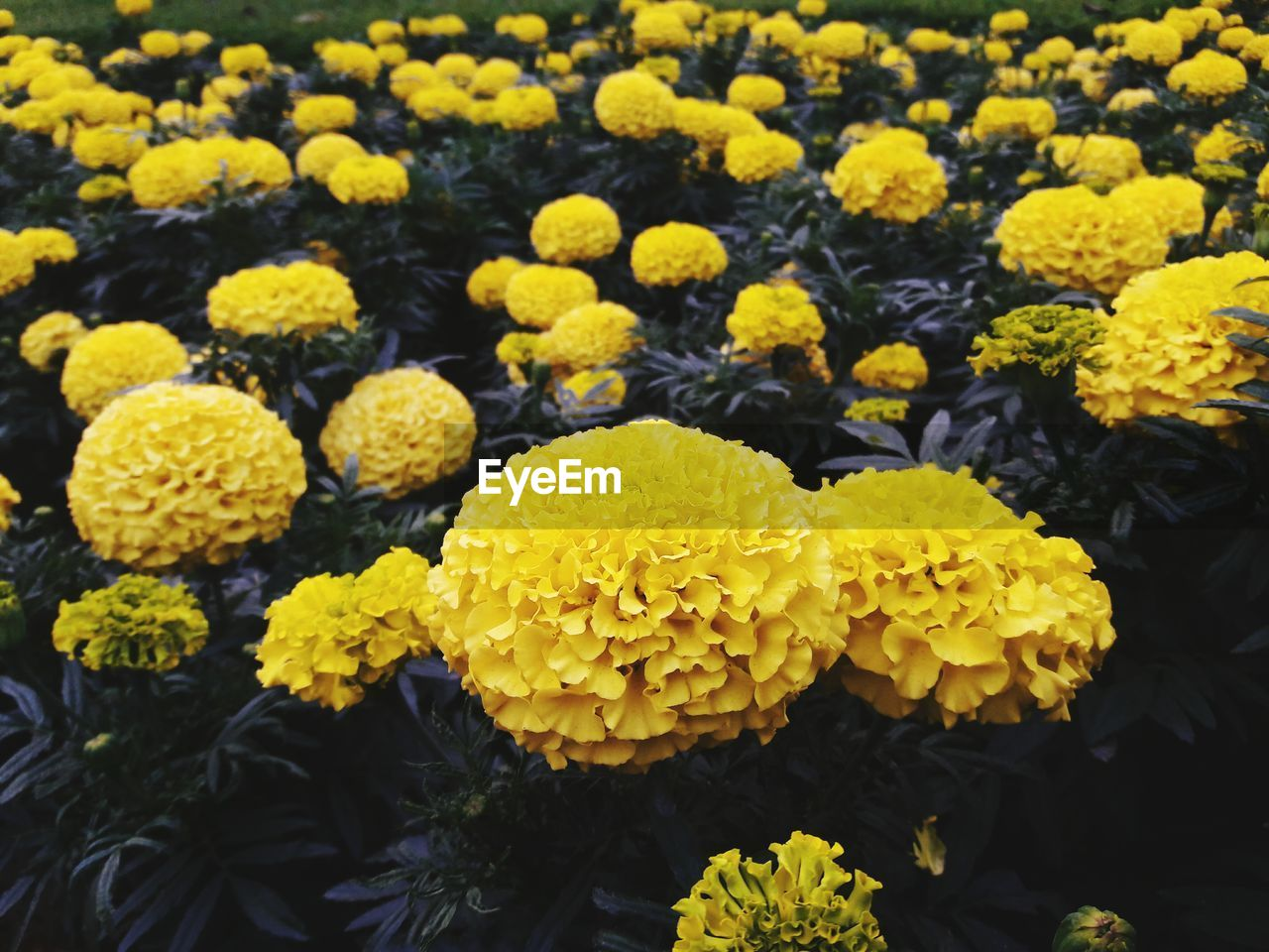 flower, flowering plant, vulnerability, yellow, fragility, growth, flower head, plant, beauty in nature, inflorescence, freshness, petal, close-up, marigold, nature, day, no people, botany, outdoors, high angle view, softness, flowerbed