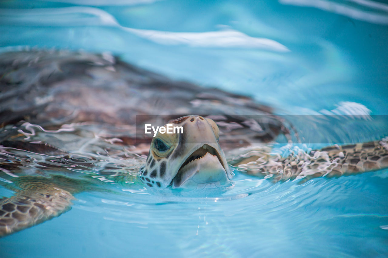 CLOSE-UP OF TURTLE SWIMMING IN POOL