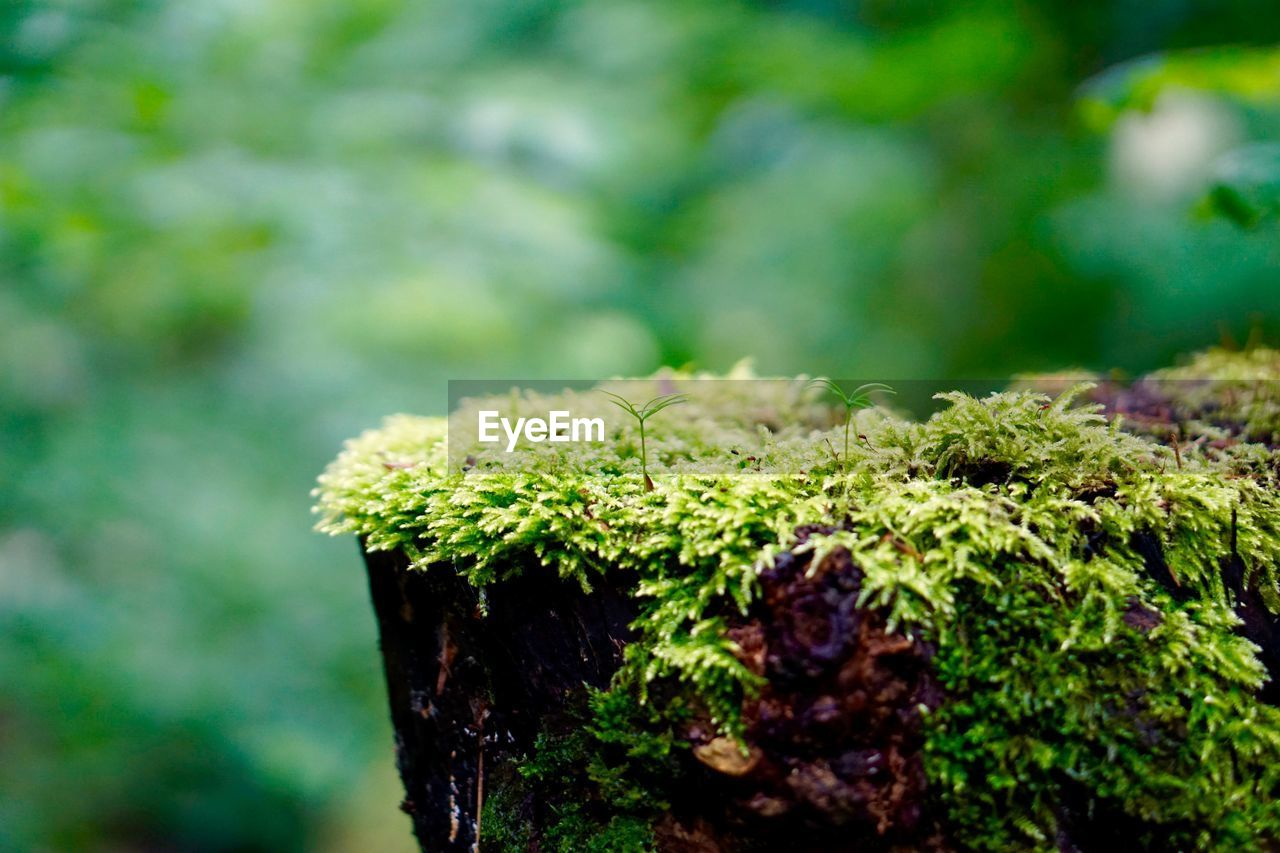 CLOSE-UP OF MOSS GROWING ON TREE COVERED WITH PLANT