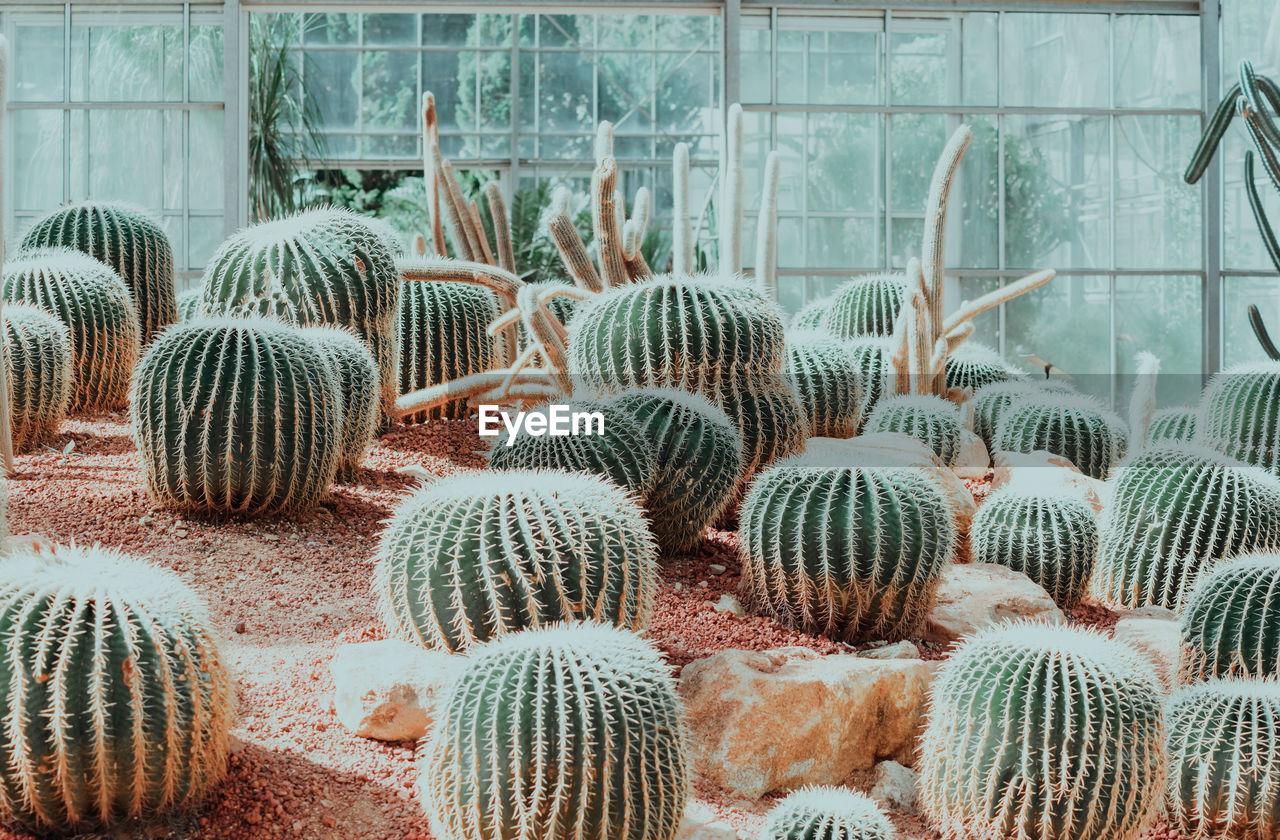 High angle view of barrel cactus plants